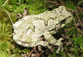 gray-treefrog